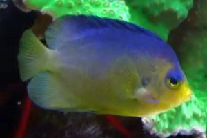 Blue Back Angelfish (Centropyge colini).mp4