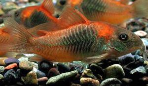 Venezuelan Red Sailfin Cory Catfish (Corydoras aeneus Venezuela)