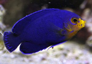 http://mycbforum.com/videos/Dwarf Pygmy Angelfish (Centropyge argi).mp4