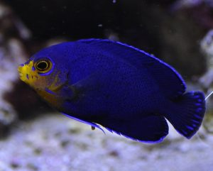 http://mycbforum.com/videos/Dwarf Pygmy Angelfish (Centropyge argi).mp4