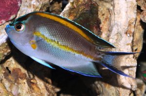 Bellus Angelfish (Genicanthus bellus) Male