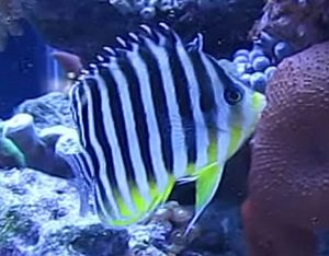 Multibarred Angelfish (Paracentropyge multifasciata)