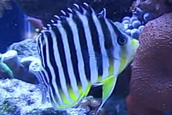 Multibarred Angelfish (Paracentropyge multifasciata)
