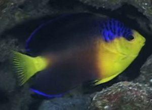 Nahacky's Pygmy Angelfish (Centropyge nahackyi)