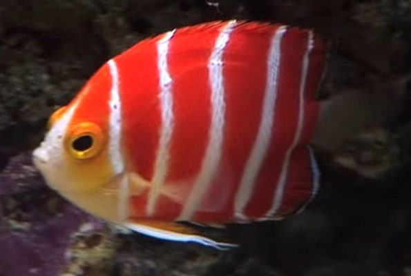 Peppermint Angelfish (Paracentropyge boylei)