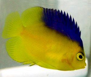 Blue Back Angelfish (Centropyge colini).mp4