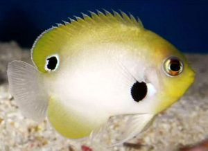 Blackspot Pygmy Angelfish (Centropyge nigriocella)