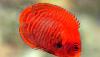 Golden Angelfish (Centropyge aurantia),