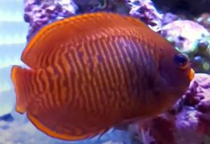Golden Angelfish (Centropyge aurantia),