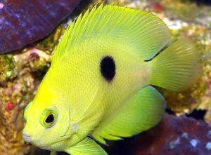 Narcosis Angelfish (Centropyge narcosis)