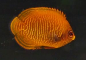 Golden Angelfish (Centropyge aurantia)