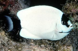 Female Masked Angelfish (Genicanthus personatus)