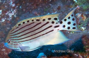 Adult Spotted Angel (Genicanthus takeuchii)