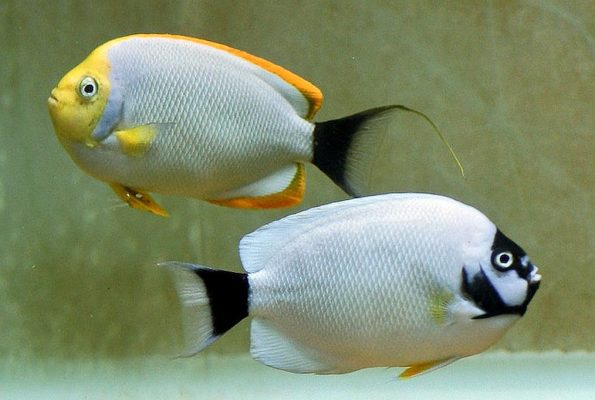 Masked Angelfish Pair (Genicanthus personatus)