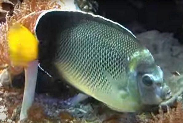 Xanthurus Cream Angelfish (Apolemichthys xanthurus)