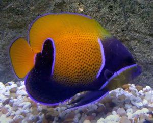 Majestic Angelfish (Pomacanthus Navarchus)