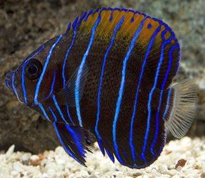 Juvenile Majestic Angelfish (Pomacanthus Navarchus)