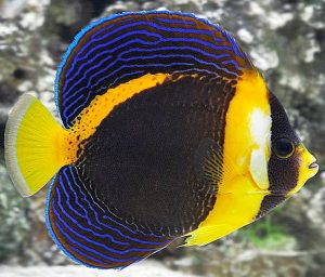 Scribbled Angelfish (Chaetodontoplus duboulayi)