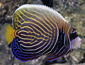 Sub Adult Emperor Angelfish (Pomacanthus imperator)